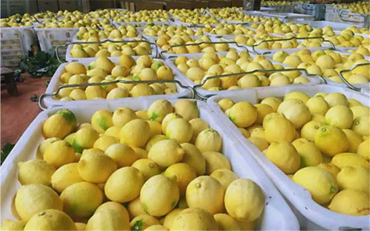 """思茅:种下柠檬树 收获""""黄金果"""""""