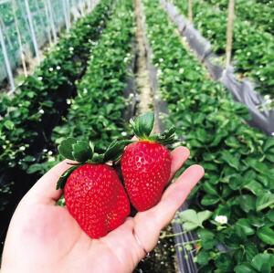 冬草莓飘香满园采摘忙 西山区高海路沿线成草莓采摘热点