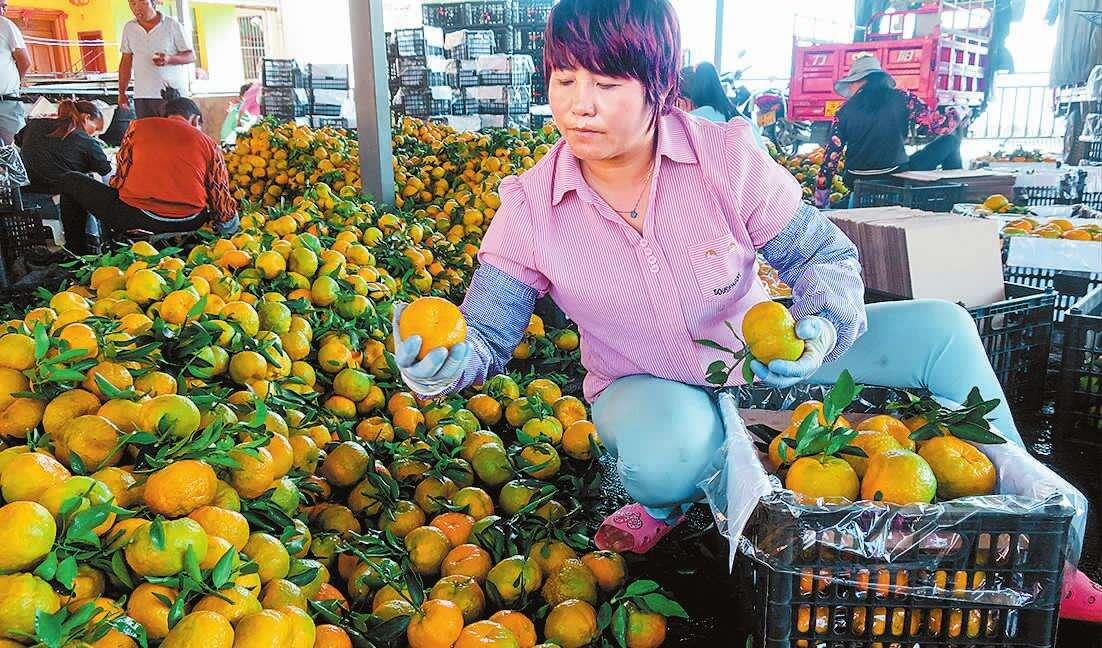 玉溪曼来镇万亩柑橘飘香