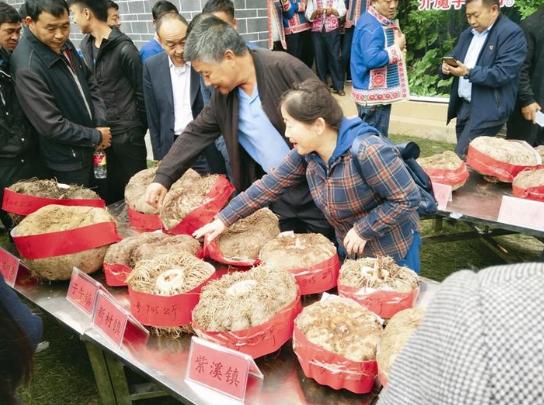 """比人高、比盆大""""魔芋王""""现身楚雄魔芋文化节"""