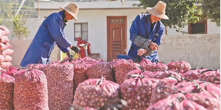 总产值7000万!小蒜头给东川区大寨村群众带来大收入