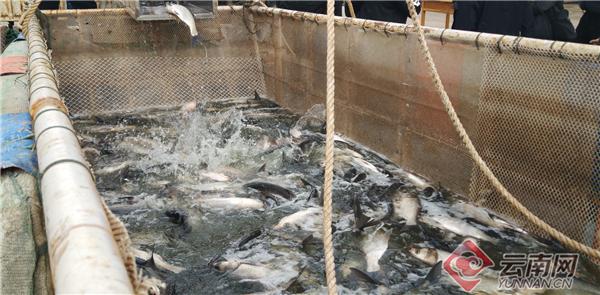 玉溪江川:450吨鱼苗投放星云湖