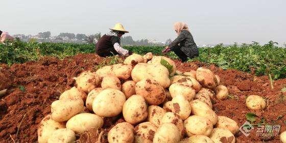 红河建水县2000多亩早熟马铃薯上市 预计产值1700多万元