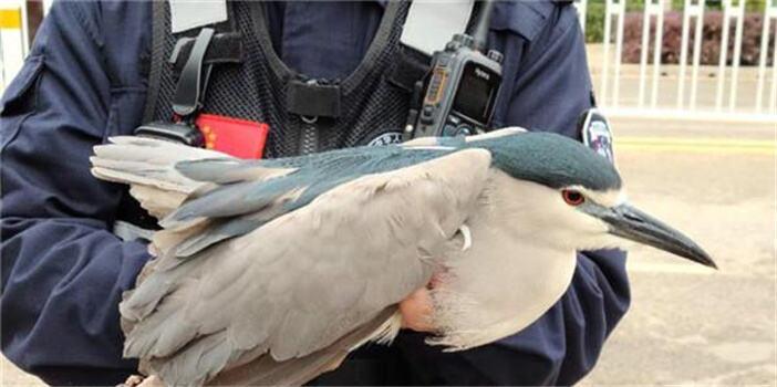 濒危二级保护动物夜鹭重伤难飞 昆明特警冒雨救助