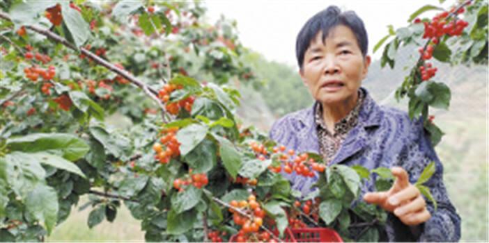 """栽下樱桃树 结出致富果 西山团结街道""""模范樱桃""""红了"""